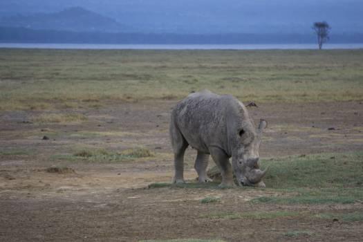 Rhinoceros Odd-toed ungulate Ungulate Free Photo