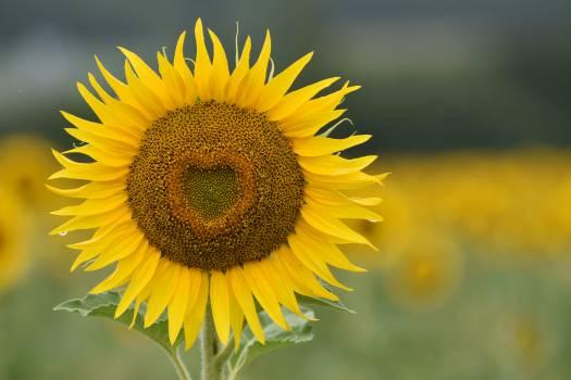 Sunflower Flower Yellow #235648