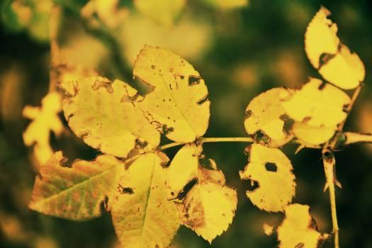 Maple Autumn Leaves #235686