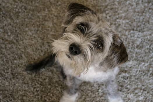 Terrier Dog Canine #235737