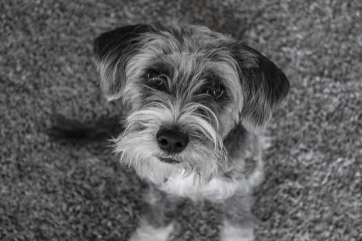 Terrier Hunting dog Tibetan terrier #235738