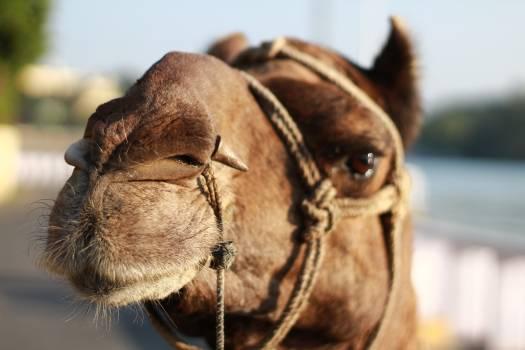 Camel Arabian camel Dog Free Photo