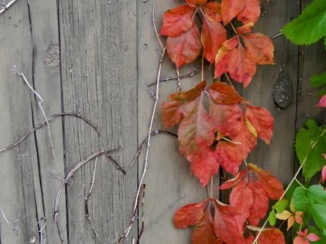 Orange Maple Plant #236014