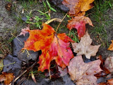Maple Autumn Leaves #236015