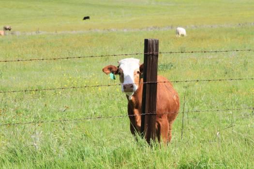 Farm Grass Cattle Free Photo
