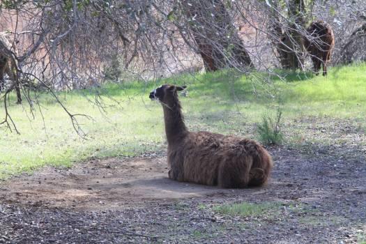 Llama Ungulate Mammal Free Photo