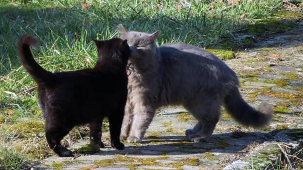 American black bear Bear Schnauzer #236600