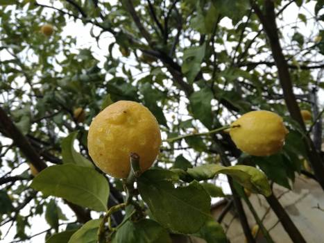 Lemon Citrus Edible fruit #236909