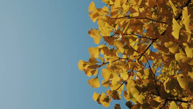 Autumn Maple Leaves #237059