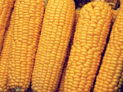 Corn Fruit Grain #237241