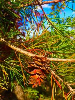 Pine Tree Woody plant #237479