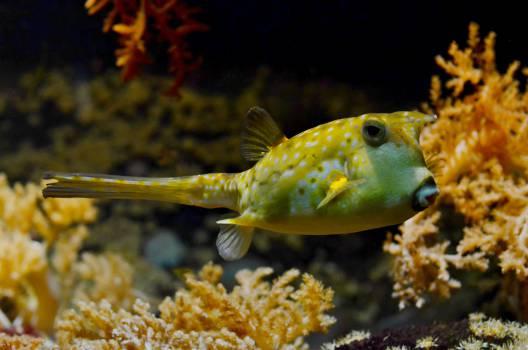 pufferfish blowfish bubblefish #23757