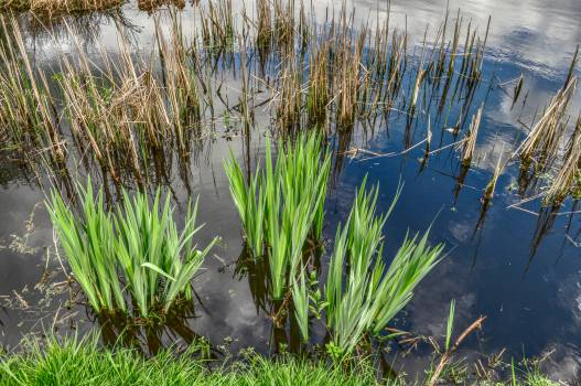 reeds pond water Free Photo