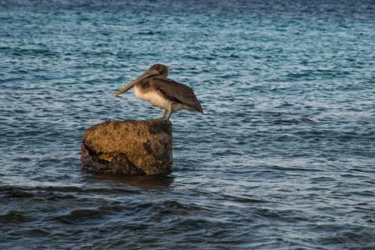 pelican bird water #23819