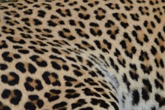 Leopard Feline Big cat #238286
