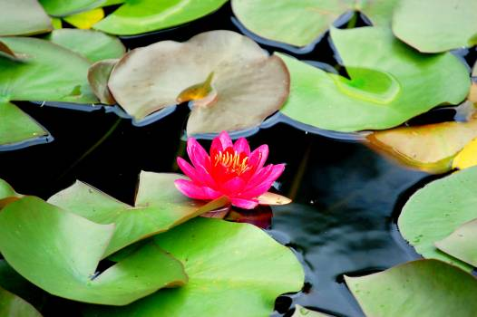 Aquatic Flower Lily Free Photo