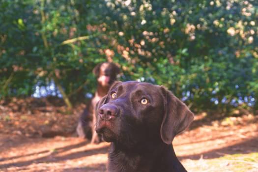 Retriever Dog Sporting dog Free Photo