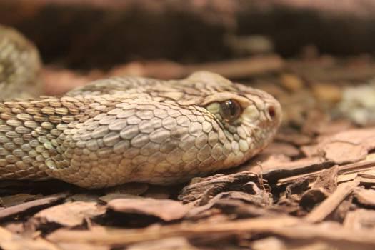 Snake Rattlesnake Reptile #238974