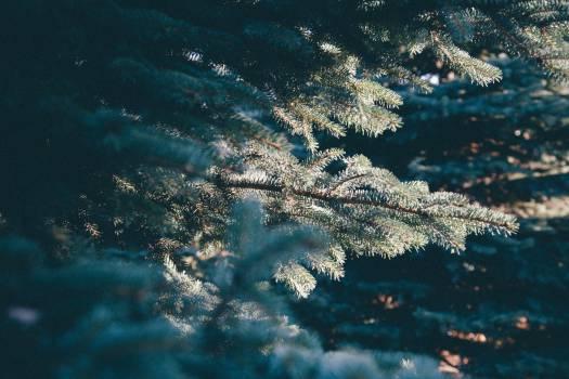 evergreen trees christmas #23924
