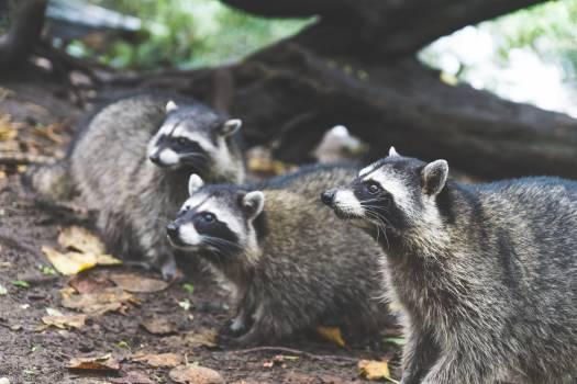 Musteline mammal Badger Mammal #239361