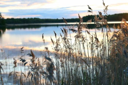 plants reeds lake Free Photo