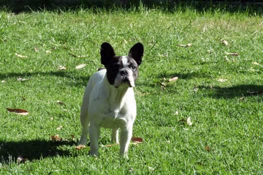 Dog Toy terrier Terrier #239530