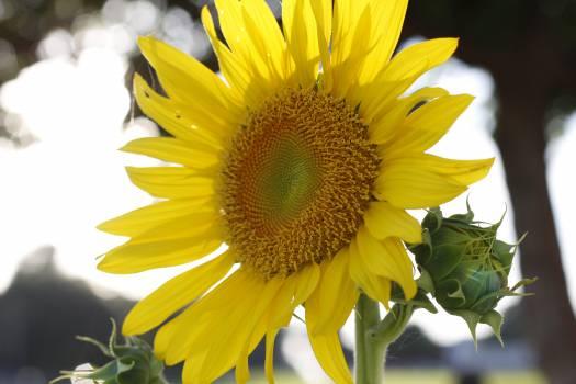 Sunflower Flower Yellow #239704