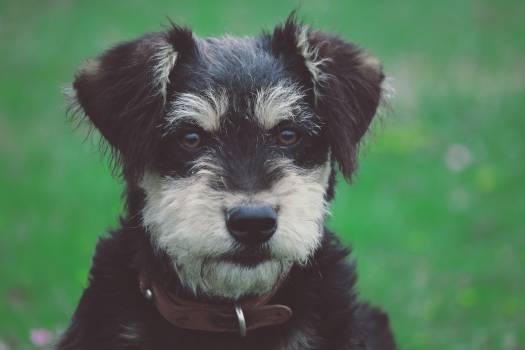 Miniature schnauzer Schnauzer Terrier #239894