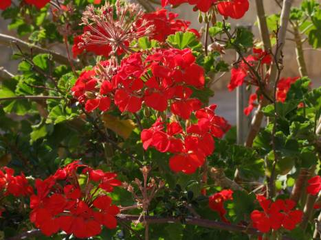 Flower Holly Red #240269
