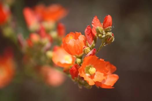 Orange Flower Ornamental Free Photo