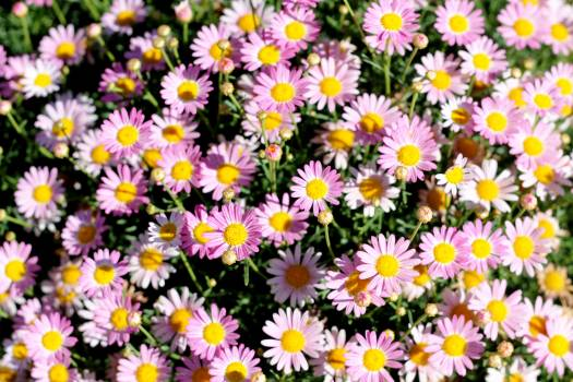 Daisy Flower Aster Free Photo