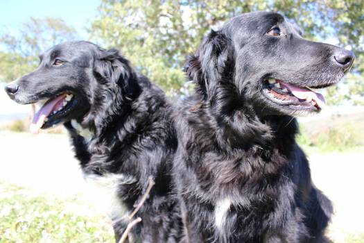 Flat-coated retriever Retriever Sporting dog Free Photo