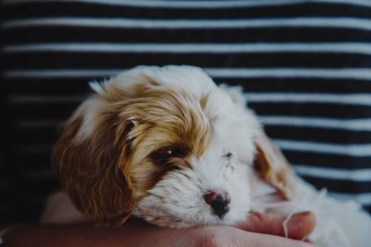Dog Toy spaniel Puppy Free Photo