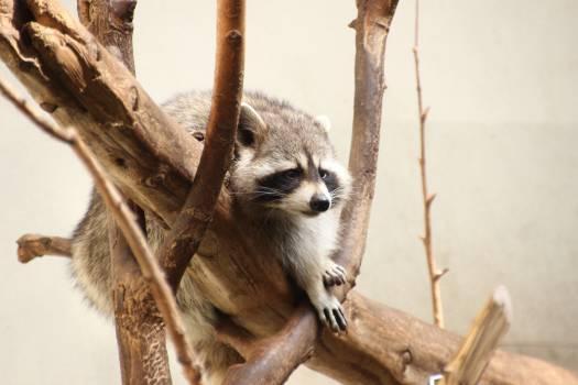 Mammal Primate Lemur #240790