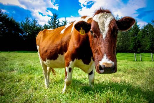 cow farm animals #24086