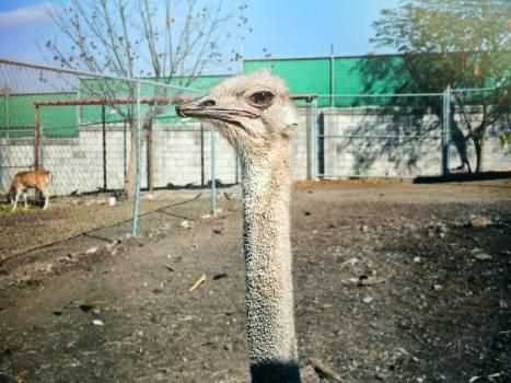Ratite Ostrich Bird #240881