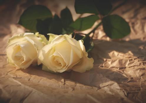 white roses flowers #24109