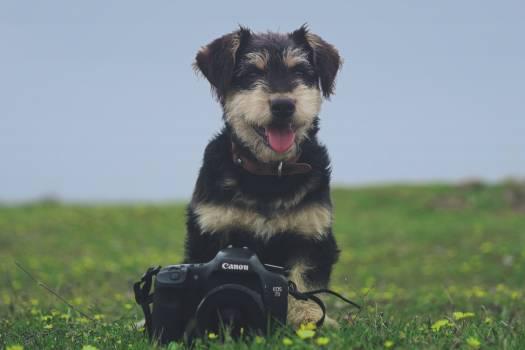 Miniature schnauzer Schnauzer Terrier #242039