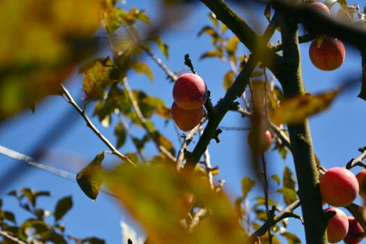 Tree Edible fruit Apple #242101