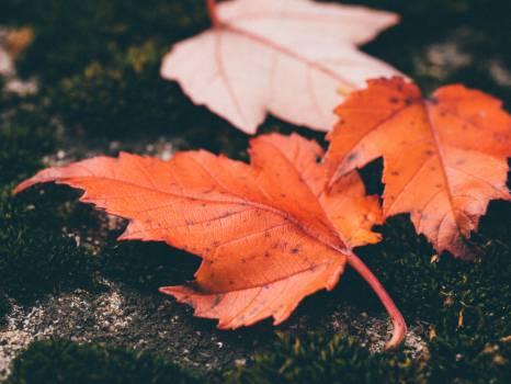 maple leaf leaves ground Free Photo