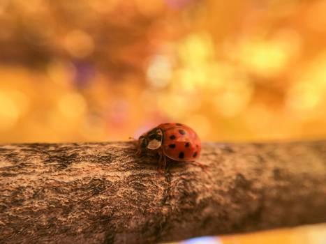 ladybug ladybird insect Free Photo