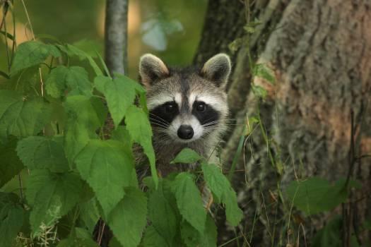 Madagascar cat Lemur Primate #242767