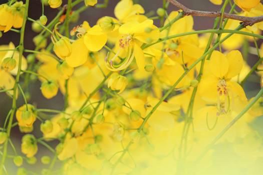 Yellow Maple Autumn #242822