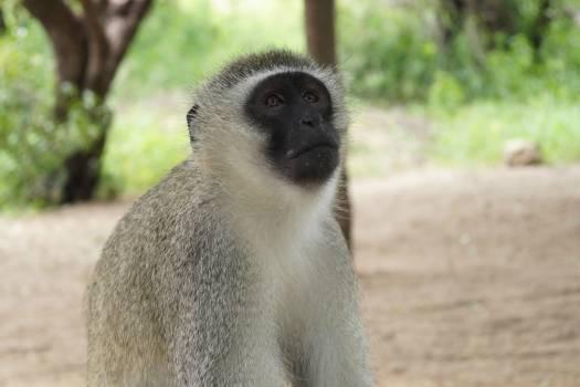 Monkey Primate Wildlife #242947