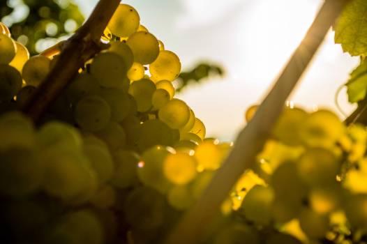 Grape Vineyard Shrub Free Photo