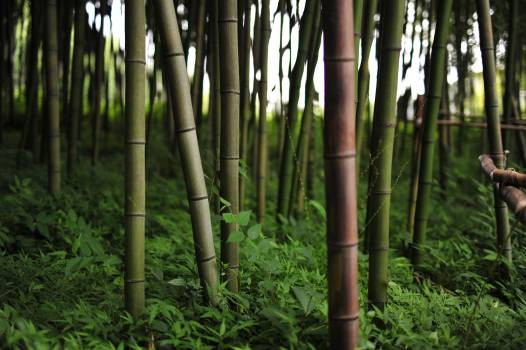 Bamboo Forest Plant Free Photo