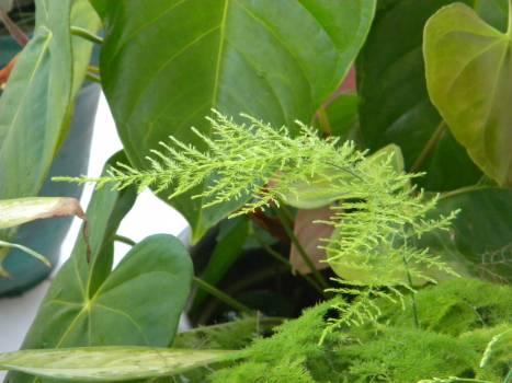 Fern Plant Leaf Free Photo