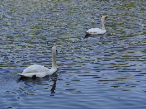 Swan Aquatic bird Bird Free Photo