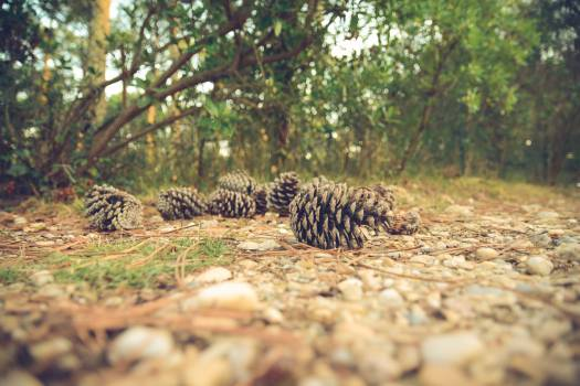 pine cones forest woods Free Photo