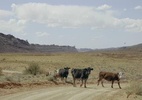 Cow Ranch Cattle Free Photo
